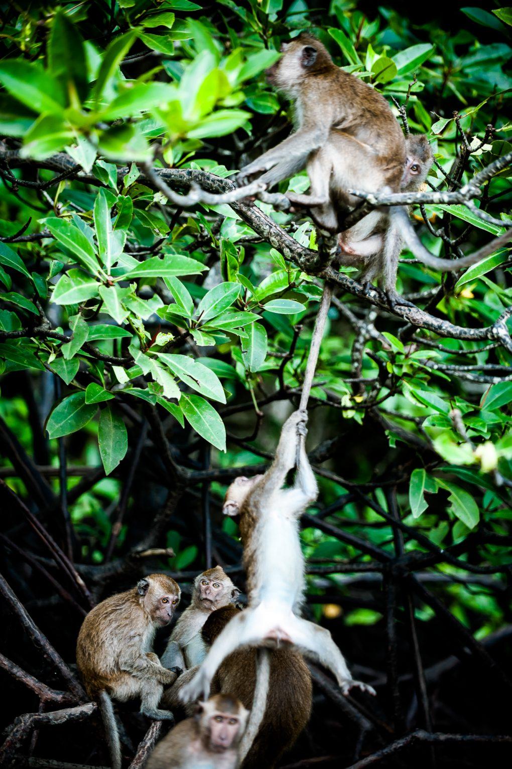 Tailandas: beždžionės